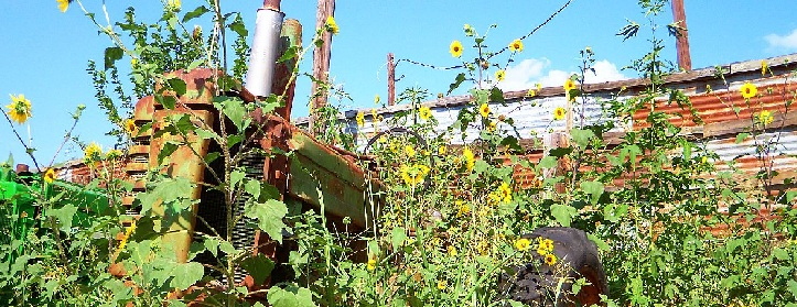 old tractor overgrown by sunflowers in Austin